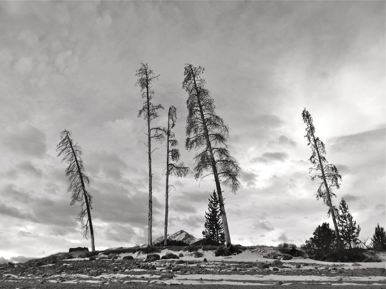 Seeing in black and white. sdfg. Lone tree on Ute Pass.