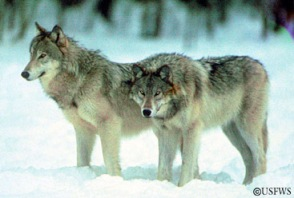 Gray wolves a. Photo courtesy USFWS.