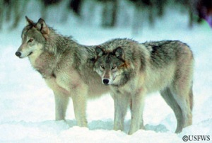 Gray wolves are making a comeback in Europe. Photo courtesy USFWS.