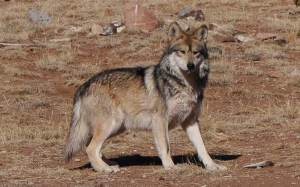 Mexican gray wolf, endangered species