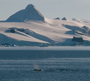An orca breaches the surface of the Antarctic Sound. Bob Berwyn photo.