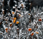 Hoar frost sparkles on leaves along the Snake River.