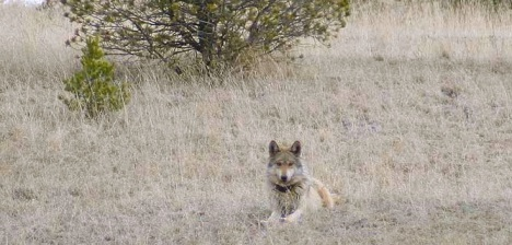 Photo courtesy of the Mexican Wolf Interagency Field Team