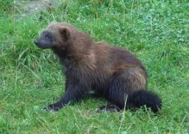 Will wolverines make a comeback in Colorado? PHOTO BY ZAC DOWLING, VIA THE CREATIVE COMMONS.