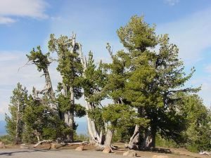 Whitebark pines are in imminent danger of extinction, and global warming is one of the most significant threats to the species. Photo courtesy U.S. Forest Service.