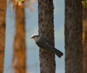 Gray jay in Summit County Colorado