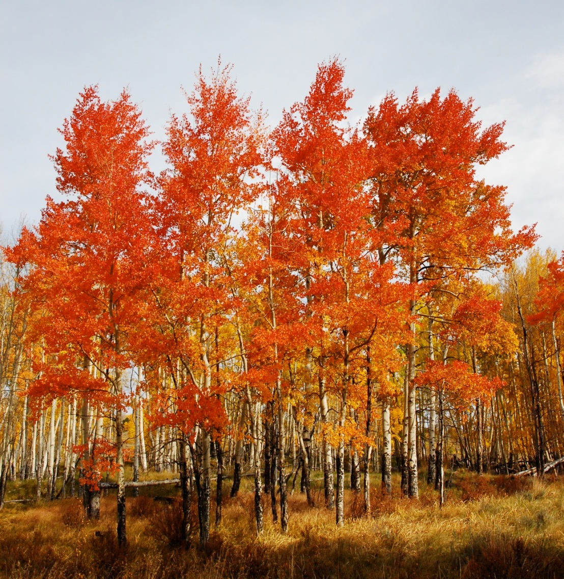 Aspens in Autumn, Summit County, Colorado