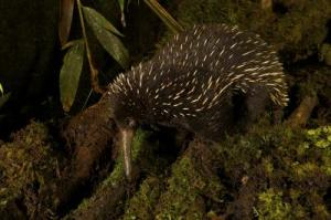 Caption: The western long-beaked echidna, one of the world's five egg-laying species of mammal, was thought to be extinct in Australia. However scientists have found evidence that it may still roam the country's north-western region.Credit: Tim Laman