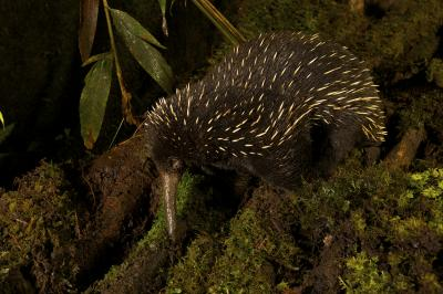 Caption: The western long-beaked echidna, one of the world's five egg-laying species of mammal, was thought to be extinct in Australia. However scientists have found evidence that it may still roam the country's north-western region.  Credit: Tim Laman