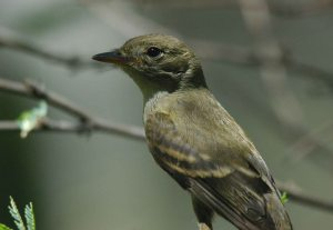 USFWS finalizes southwestern willow flycatcher critical habitat. Photo courtesy USFWS/Jim Rorabaugh.