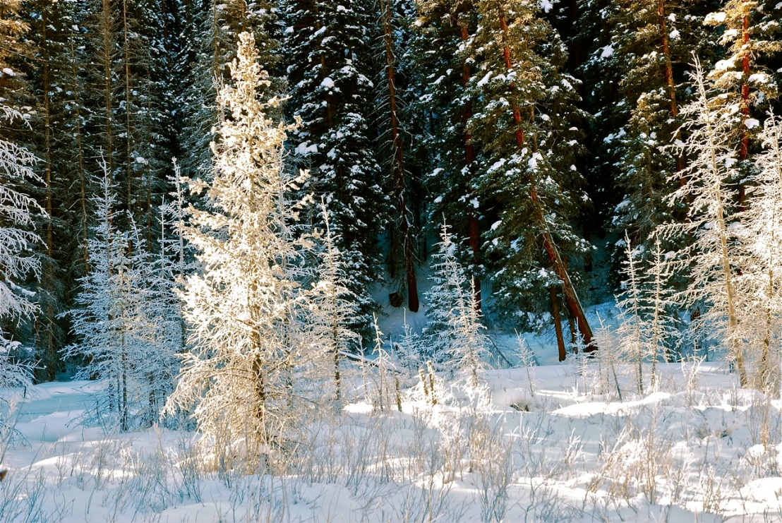 Winter forest Summit County Colorado