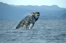 Gray whale breaching, NOAA photo