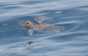 A loggerhead sea turtle off the coast of New England. Photo courtesy NOAA/Matthew Weeks.