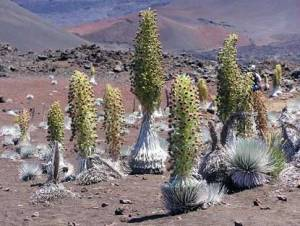 Haleakalā silverswords (ʻahinahina) in full bloom.NPS photo by Kit Harris
