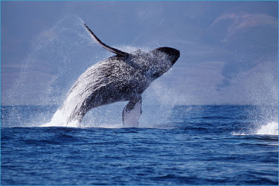 A humpback whale near Hawaii. Photo courtesy NOAA.