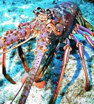 A spiny lobster in the Florida Keys Marine Sanctuary.