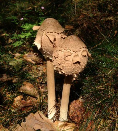 Immature parasol mushroom.