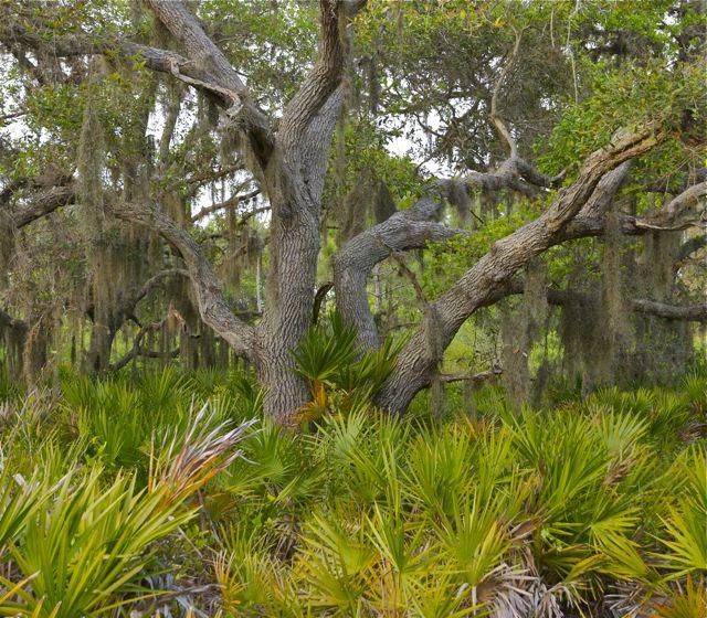 Florida oak.