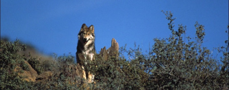 Mexican gray wolf. Photo courtesy USFWS.