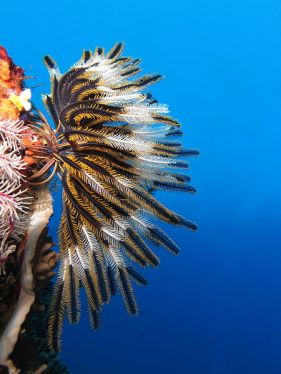 Crinoid on the reef of Batu Moncho Island, Indonesia.