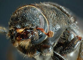 Mountain Pine Beetle. Photo by: Ward Strong, B.C. Ministry of Forests, Lands, and Natural Resource Operations