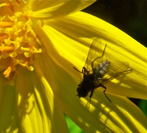 Wild insect populations are critical to pollinating plant life. Bob Berwyn photo.