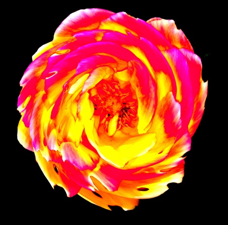 Slightly swirled rose, edited in PS Express, the iPhone Photoshop app.