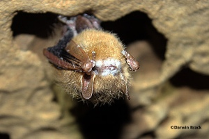 A tri-colored bat with the tell-tale signs of white-nose syndrome on its muzzle in
