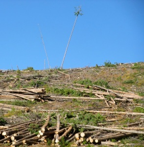 Salvage logging in a stand of beetle-killed lodgepole pines in Frisco, Colorado. Bob Berwyn photo.