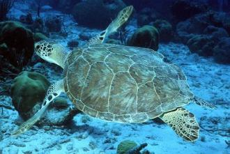 Green sea turtle conservation