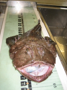 A goosefish or monkfish (Lophius americanus) is measured at sea. Photo courtesy NOAA.