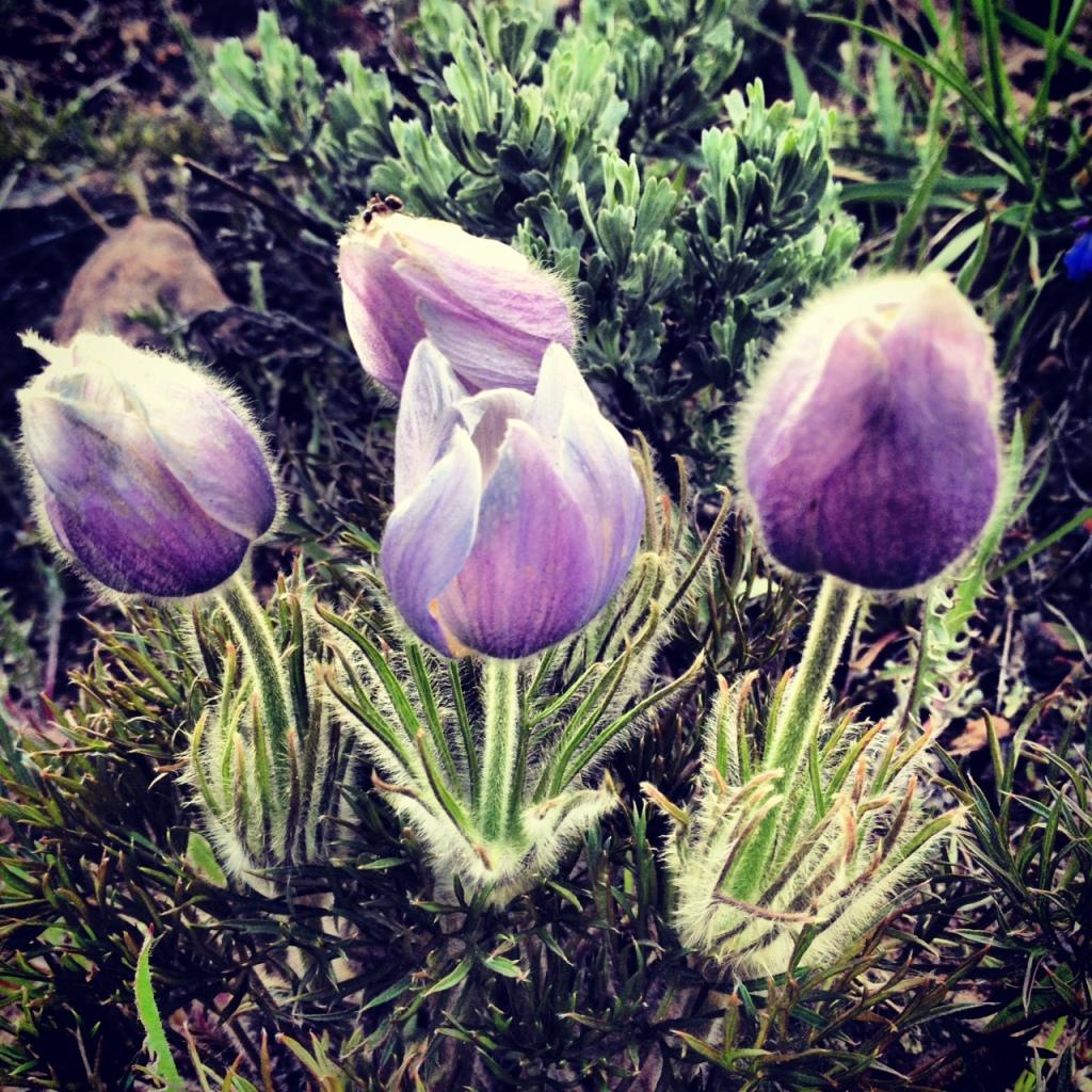 Pasque flowers along the Ptarmigan Trail.