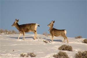 Mule deer in winter. Photo courtesy Colorado Parks and Wildlife.