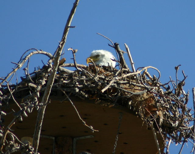 Nesting eagles at Dillon Reservoir, Summit County, Colorado.