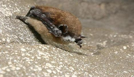 A Missouri bat that died after being infected with white-nose syndrome. Photo courtesy USGS.