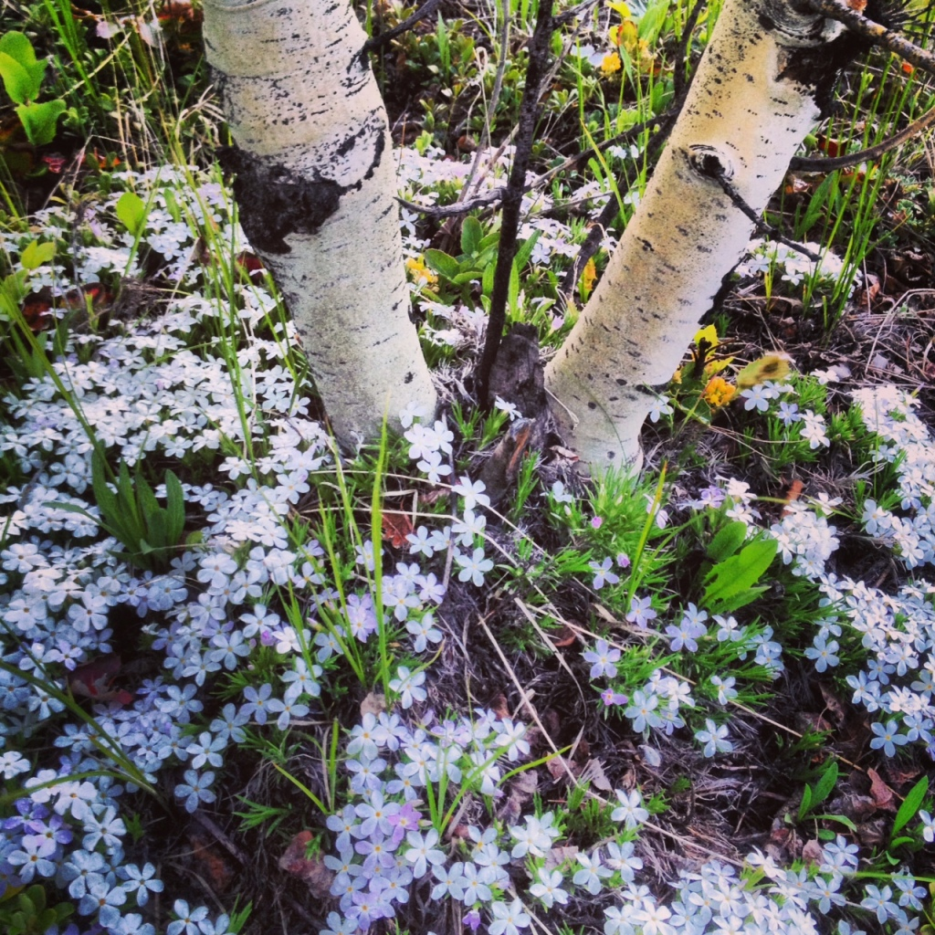 A carpet of phlox around the base of twin aspen trees.