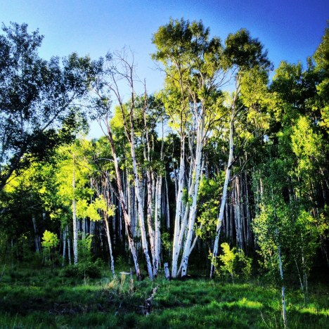Aspens at first light.