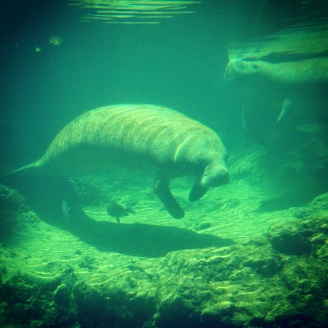 Endangered species like Florida's manatees would have little chance of surviving, much less recovering without the Endangered Species Act to protect them from the excesses of greedy developers and their Republican political allies.