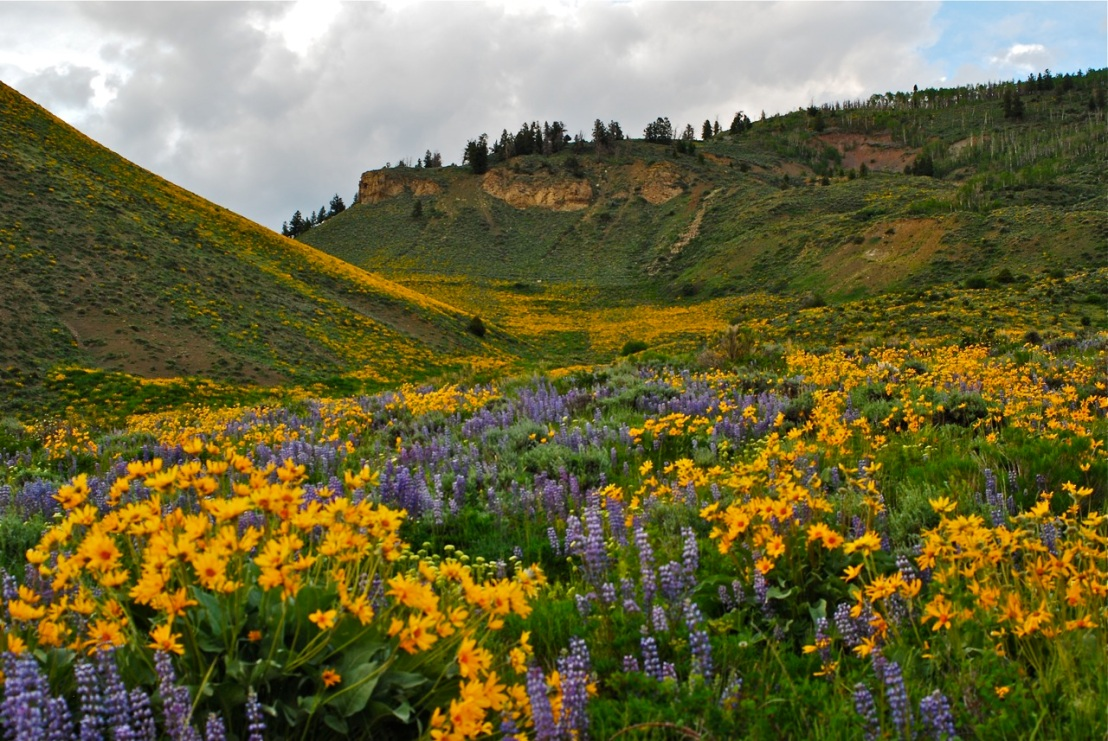 Masses of wildflowers in this draw in the Williams Fork Range, north of Silverthorne, Colorado