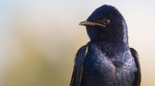 Purple martins and other songbirds may not be able to keep up with a changing climate. Photo courtesy USFWS.