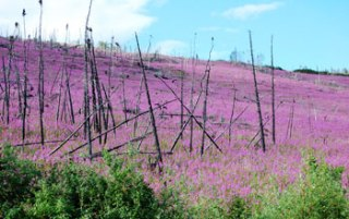 The magenta-flowered fireweed, which springs up after a burn, dominates a landscape once covered in black spruce in Alaskas Yukon Flats. Credit: University of Illinois at Urbana-Champaign