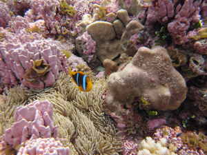 Pink coral at Rose Atoll in National Marine Sanctuary of American Samoa. Photo courtesy NOAA.