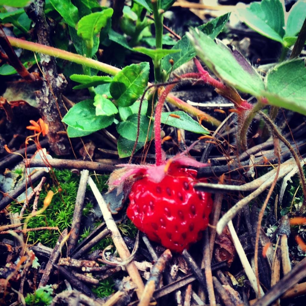 Wild strawberry Colorado