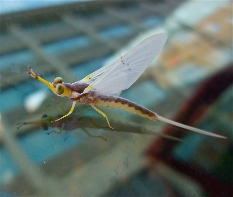 We met this strange bug on our windshield in Keokuk, Iowa, a lovely town along the Upper Mississippi.