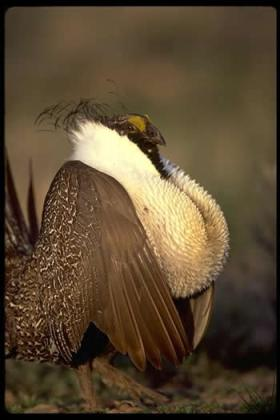 Greater sage-grouse. Photo courtesy USFWS.