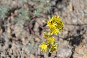 Webber's ivesia, a rare desert flower in the rose family, will get some protection under the Endangered Species Act. Photo courtesy Sarah Kulpa, USFW.