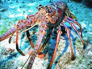 A spiny lobster in the Florida Keys Marine Sanctuary. Photo courtesy NOAA.