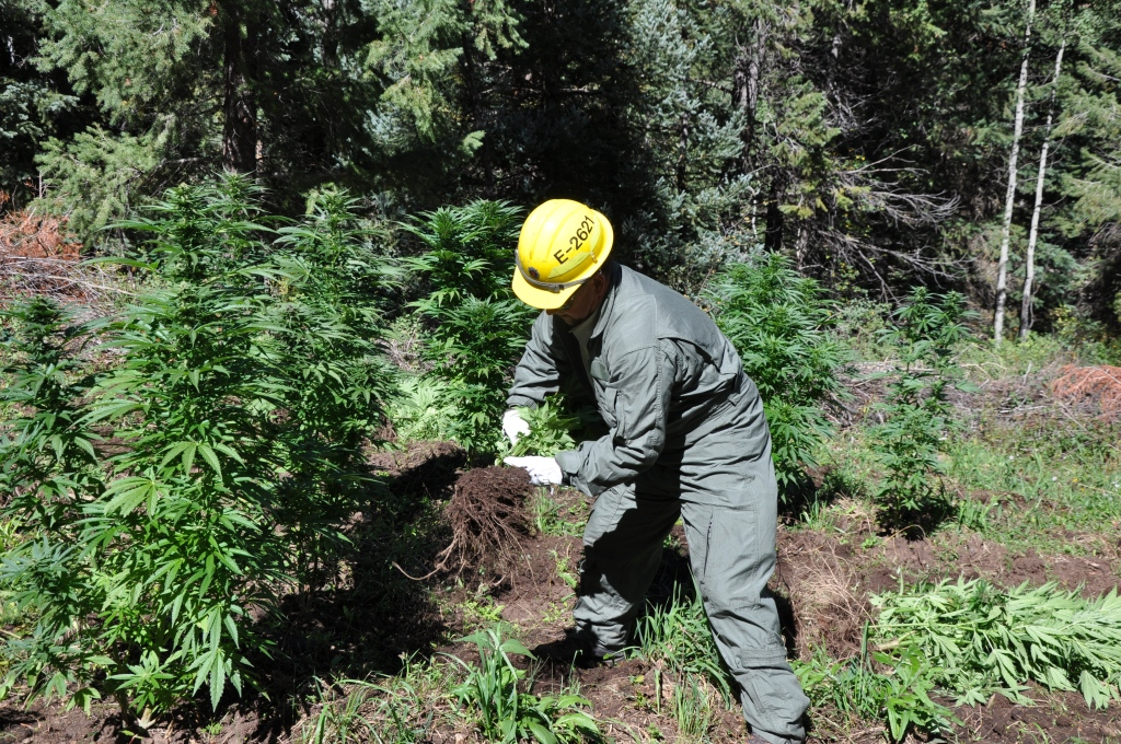 illegal marijuana grow site on White River National Forest Colorado.