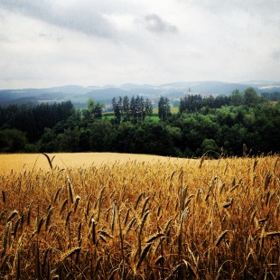 Wheat field in Upper Austria