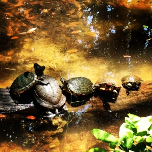 Some species of turtles in North America will be hard-pressed to survive global warming. bberwyn photo.